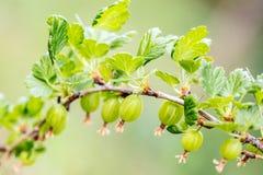 Branche d'uva-crispa de Ribes avec jeune groseilles à maquereau vertes, croissance et maturité photo stock