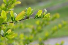 Branche da árvore (fundo) Fotos de Stock Royalty Free
