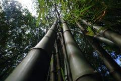 Branche de bambou dans la forêt en bambou Images stock