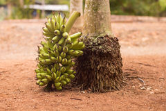 Branche de banane par un arbre Image libre de droits