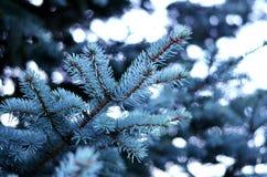 Branche de beau bleu de sapins Photographie stock