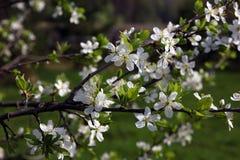 Branche de beau prunier de floraison avec beaucoup de petits jolis Photos libres de droits