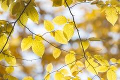 Branche de belles feuilles d'automne Photos stock