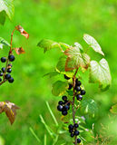 Branche de Blackberry Photo libre de droits