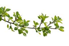 Branche de bois de poire Photo libre de droits
