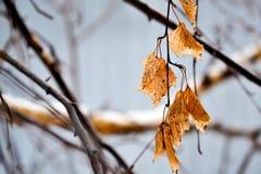 Branche de bouleau image stock