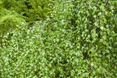 Branche de bouleau Photos libres de droits