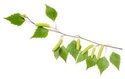 Branche de bouleau avec des aments Photographie stock