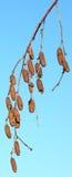 Branche de bouleau avec des boucles d'oreille Photos stock