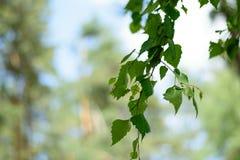 Branche de bouleau avec les feuilles de vert et le fond brouillé Image libre de droits