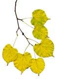 Branche de bouleau avec les feuilles jaunes Image stock