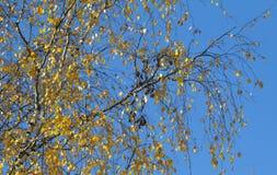 Branche de bouleau avec les feuilles jaunes images libres de droits
