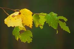 Branche de bouleau pendant une pluie légère Images stock