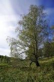 Branche de bouleau sur la pente Photo libre de droits