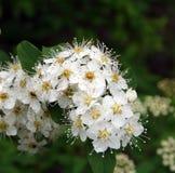 Branche de Bush avec les fleurs blanches Image libre de droits