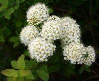 Branche de Bush avec les fleurs blanches Photo libre de droits