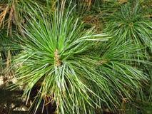 Branche de cèdre avec des aiguilles Images stock