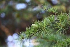 Branche de cèdre avec le jeune cône de pollen image libre de droits