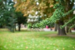 Branche de cèdre en parc urbain Photographie stock libre de droits
