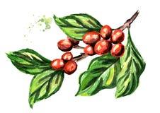 Branche de café avec des haricots et des feuilles de vert Illustration tirée par la main d'aquarelle d'isolement sur le fond blan illustration de vecteur