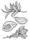 Branche de café, graines de cacao, feuilles de thé illustration stock