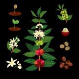 Branche de café sur le fond de la carte Usine avec la feuille, fleurs, baie, fruit, graine Photographie stock