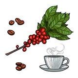 Branche de café Usine avec des feuilles, baies Boisson naturelle de caféine Bâtons de cannelle, anis illustration libre de droits