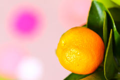 Branche de Calamondin Photos stock