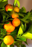Branche de Calamondin, verticale Photographie stock libre de droits