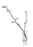 Branche de cassis dans la fleur Image stock