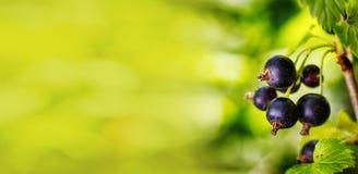 Branche de cassis frais doux dans le jardin Courant noir Photos libres de droits