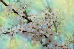 Branche de cerasifera de Prunus avec les fleurs blanches Images libres de droits