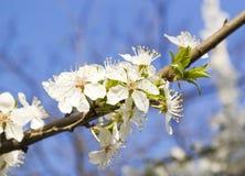 Branche de cerise Image libre de droits