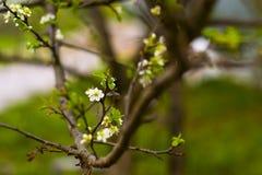 Branche de cerise Photos libres de droits