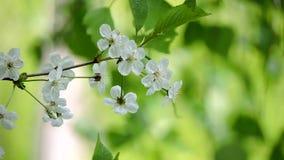 Branche de cerise avec les fleurs blanches balançant dans le vent sur un beau fond clips vidéos
