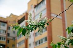 Branche de cerise d'oiseau Photos libres de droits