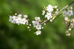 Branche de cerisier de floraison Photographie stock libre de droits