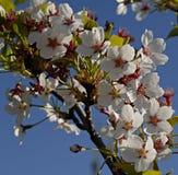 Branche de cerisier de printemps avec des fleurs Photos stock