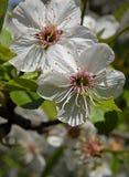 Branche de cerisier de printemps avec des fleurs Images stock