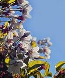 Branche de cerisier de printemps avec des fleurs Image stock