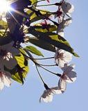 Branche de cerisier de printemps avec des fleurs Image libre de droits