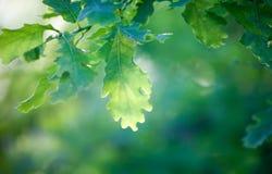 Branche de chêne photographie stock