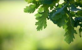 Branche de chêne photo stock