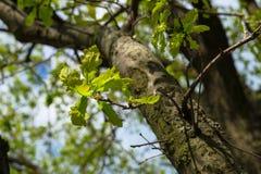 Branche de chêne antique avec le feuillage frais au printemps Photo stock