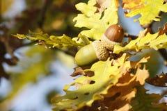Branche de chêne avec deux glands Images stock