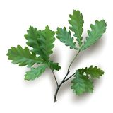 Branche de chêne avec les feuilles vertes Photographie stock libre de droits