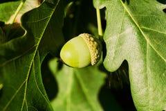 Branche de chêne avec les glands verts, plan rapproché en Russie Images stock