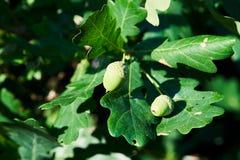 Branche de chêne avec les glands verts, plan rapproché en Russie Photo stock