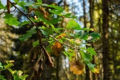 Branche de chêne dans la forêt d'automne Images libres de droits