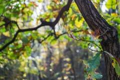 Branche de chêne dans la forêt d'automne Photographie stock libre de droits